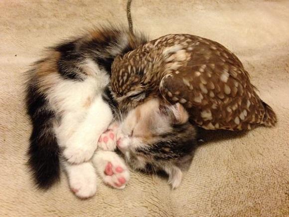 owlcat 1