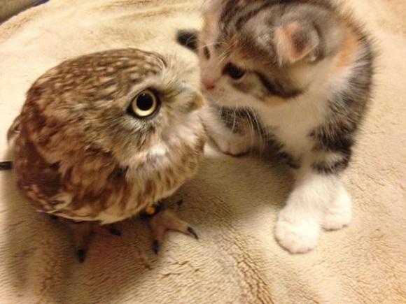 owlcat 5