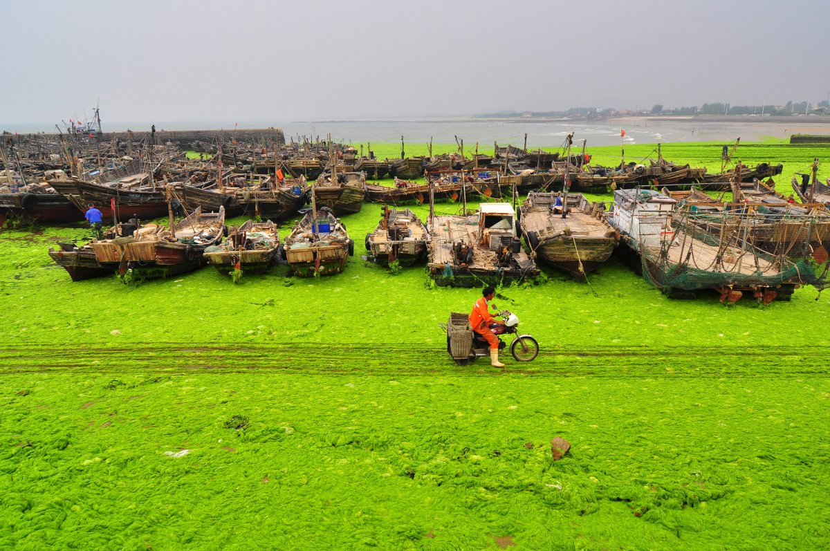 farmers-use-the-rafts-to-make-nori-a-type-of-edible-seaweed-thats-popular-in-japan-when-the-rafts-are-cleaned-off-in-the-spring-along-comes-the-algae-which-thrives-off-the-leftover-seaweed-nutrients-and-the-warm-conditions-in-the-yellow-sea