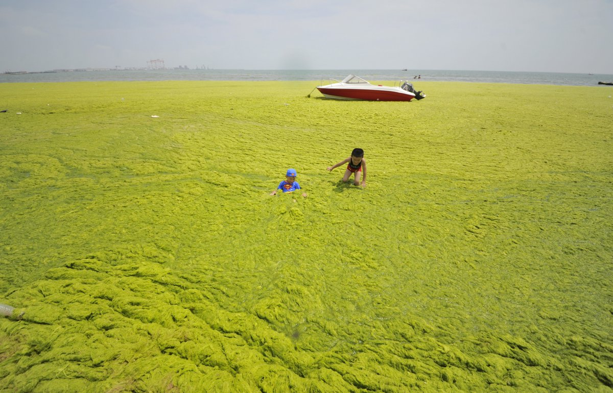 researchers-think-the-reason-for-the-algae-growth-in-qingdao-is-that-seaweed-farmers-started-cleaning-their-rafts-farther-offshore-this-gave-the-algae-the-chance-to-spread-out-and-make-its-way-to-the-shore-up-near-the-city
