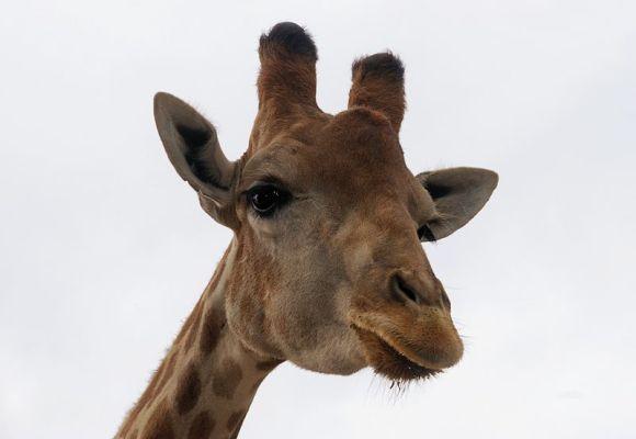 800px-Giraffe_July_2008-1