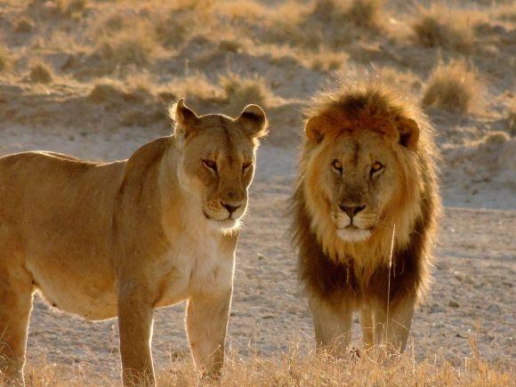 Panthera_leo_5