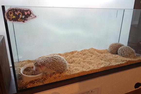 Hedgehog Cafe033