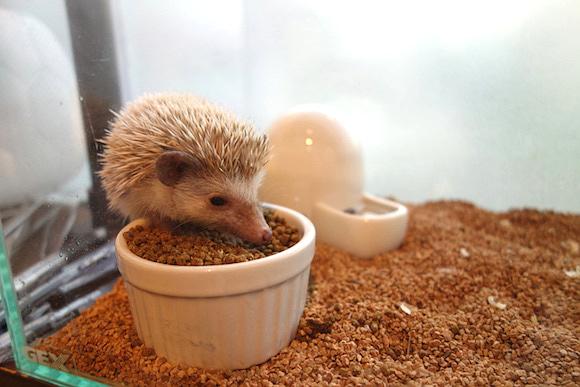 Hedgehog Cafe057