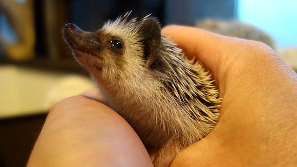 Hedgehog Cafe104