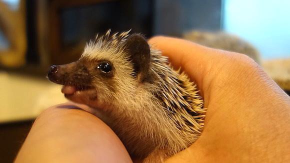 Hedgehog Cafe105