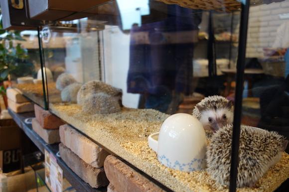 Hedgehog Cafe35