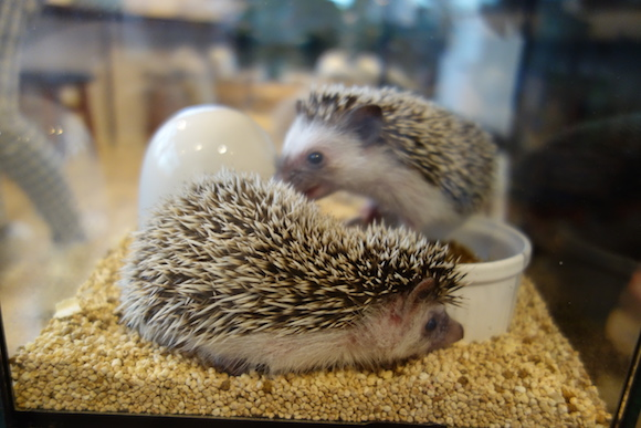 Hedgehog Cafe36