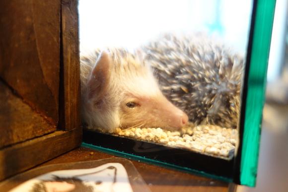 Hedgehog Cafe47
