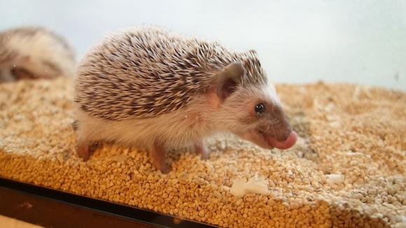 Hedgehog Cafe52