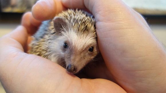 Hedgehog Cafe62