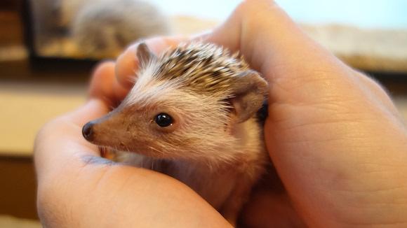 Hedgehog Cafe63