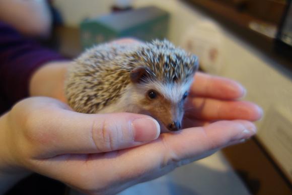 Hedgehog Cafe66