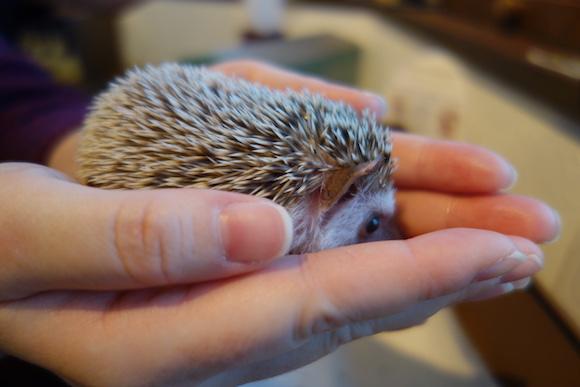 Hedgehog Cafe67