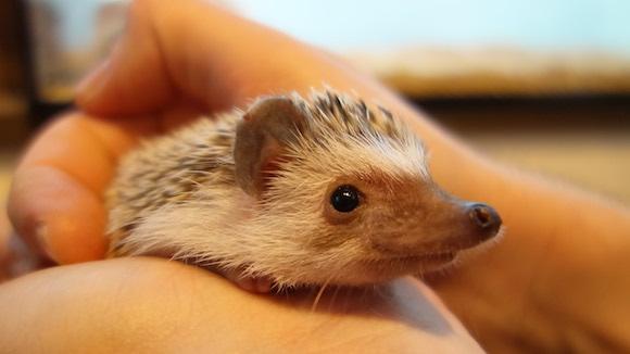 Hedgehog Cafe78