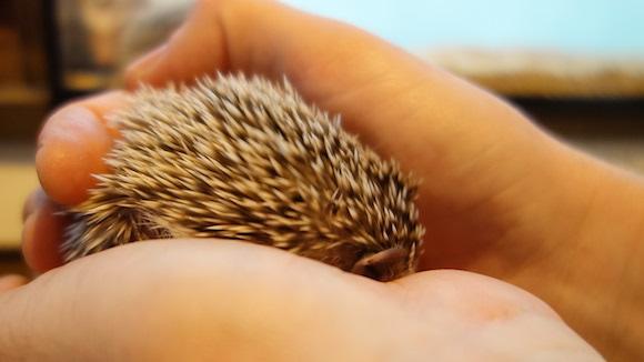 Hedgehog Cafe80