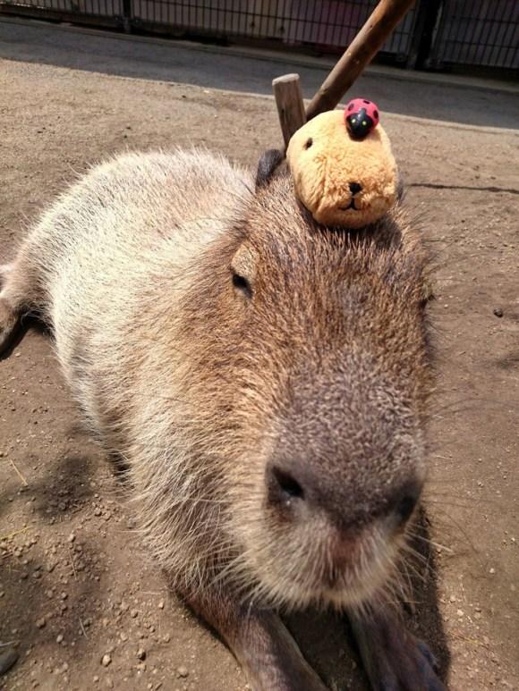 capybara on head (1)