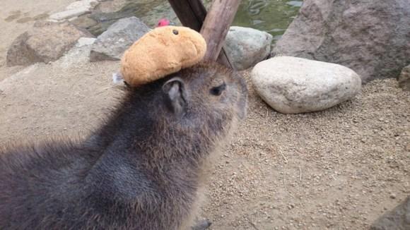 capybara on head (2)