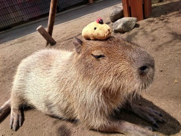 capybara on head (3)