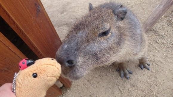 capybara on head (4)
