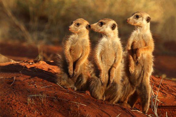 meerkat_suricata_suricatta_tswalu