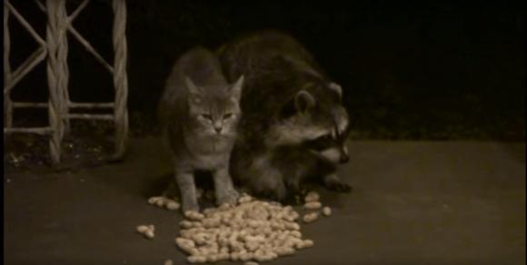 racoonandcat1